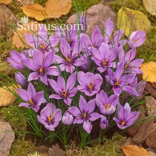 Crocus sativus 250 bulbi calibro 7/8