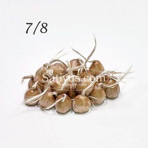 Crocus Sativus 100 corms size 7/8