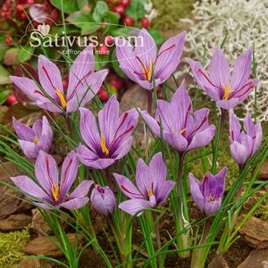 Crocus sativus 50 bulbes calibre 7/8