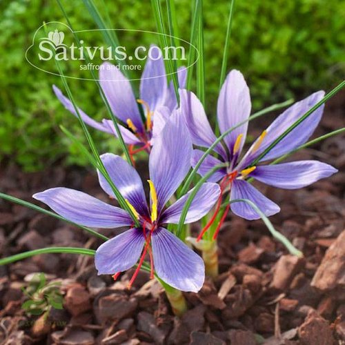 25 Bulbi di crocus Sativus calibro 7/8