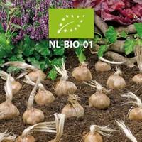 Nouveau dans notre boutique en ligne : les bulbes de safran BIO !