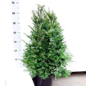 Taxus 60 - 80 cm (Baccata)