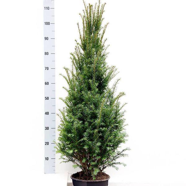 Taxus 100 - 120 cm (Baccata)