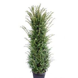 Taxus 200 - 225 cm (Baccata)