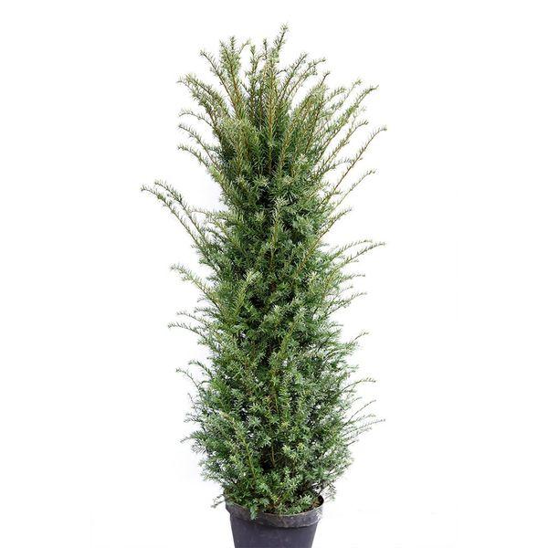 Taxus 250 - 275 cm (Baccata)