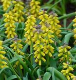 Gouden druifje Muscari macrocarpum 'Golden Fragrance' (Gouden druifje)