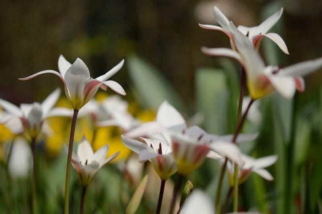 Bloembollen van deze tulp soort, Tulipa clusiana 'Stellata', bloeien op de Warande
