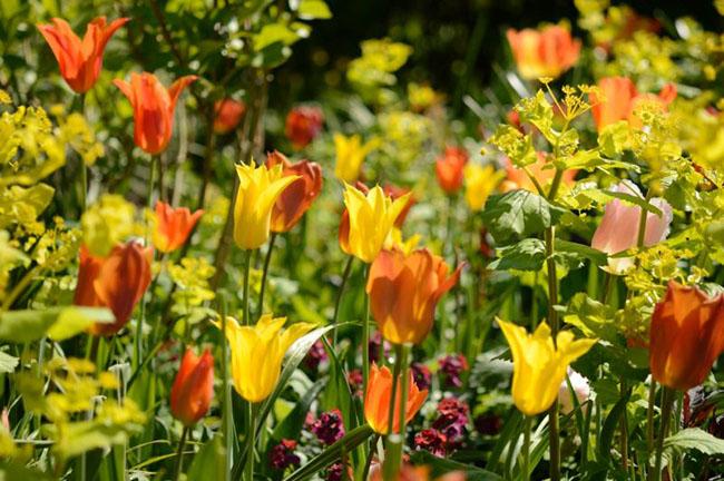 Tulpen van verschillende soorten bloeien in de tuin van Jaqcueline van der Kloet