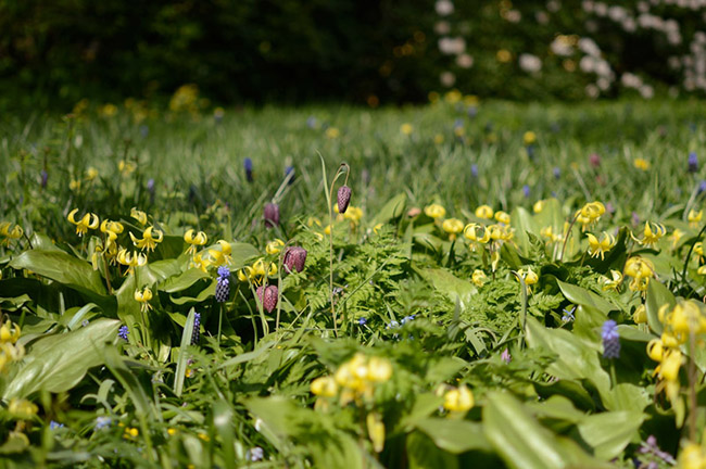 Gele hondstand, Kievitsbloem en Breedbladige druifhyacint verwilderd in een grasveldje. Klik op de foto voor een vergroting