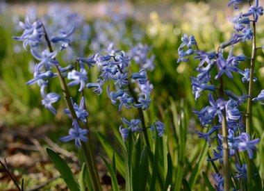 HYACINTHUS - romeinse hyacint