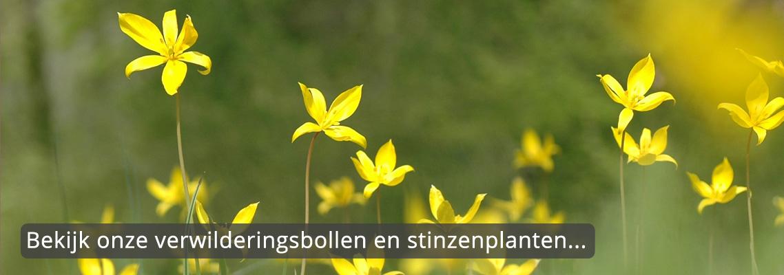 verwilderingsbollen-stinzenplanten