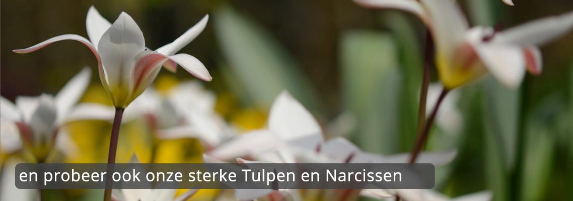 tulpen-narcissen