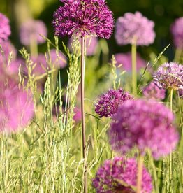 Sierui Allium 'Purple Sensation'
