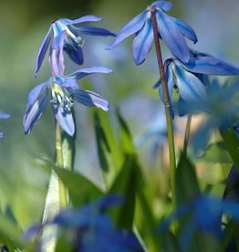 Sterhyacint (oosters) Scilla siberica, ECO