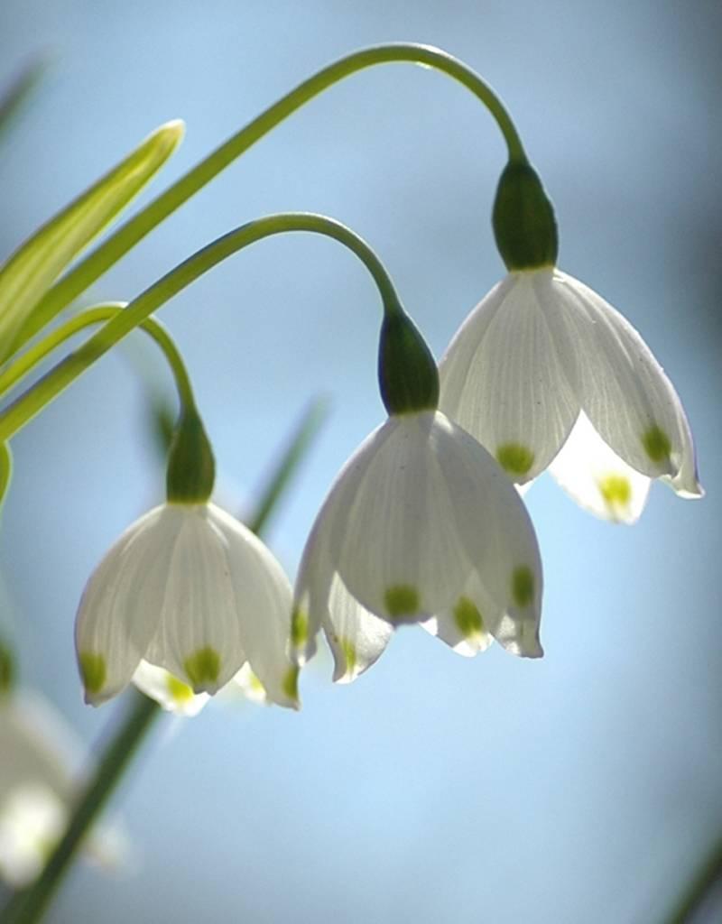Zomerklokje Leucojum aestivum 'Gravitye Giant' (Zomerklokje) - Stinzenplant