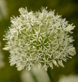 Sierui Allium 'Mount Everest'