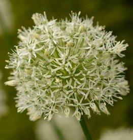 Sierui Allium 'Mount Everest'