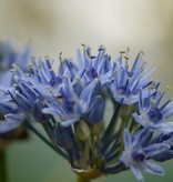 Look Allium caeruleum (Blauwe look)