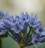 Look Allium caeruleum (Blauwe look)