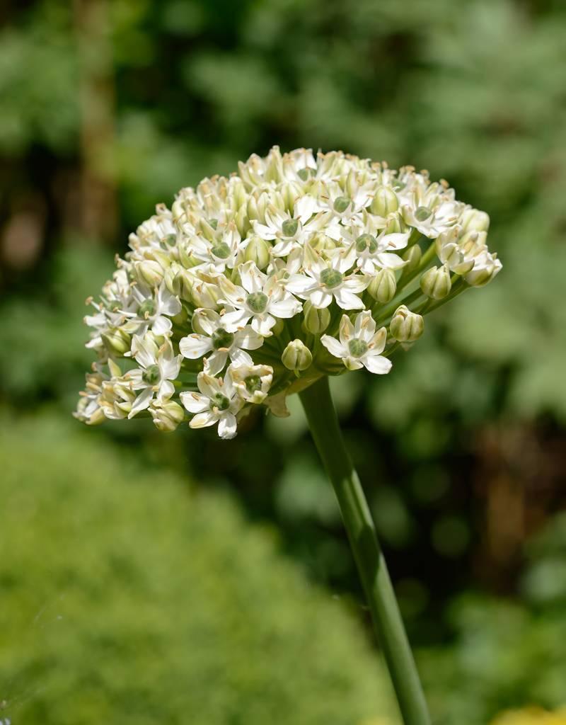 Look Allium nigrum (Zwarte look)