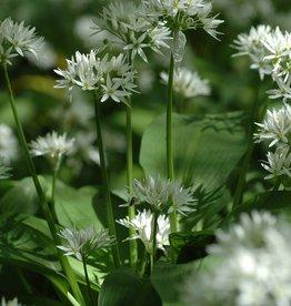 Look (daslook) Allium ursinum (zaad)