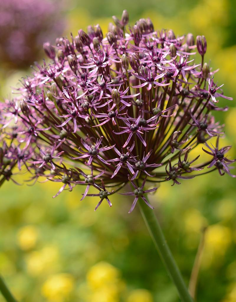 Sierui Allium 'Firmanent' (Sierui)