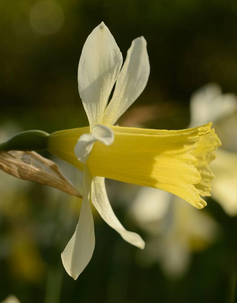 Narcis Narcissus 'Elka'