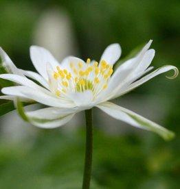 Anemoon (bos) Anemone nemorosa 'Bracteata'