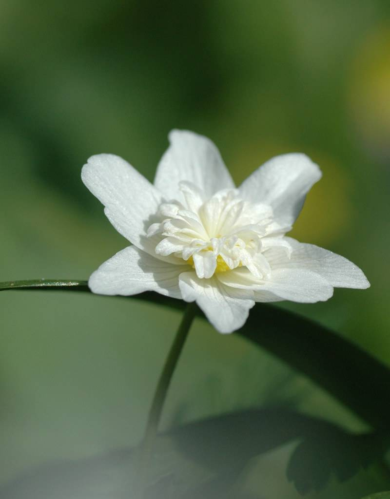 Anemoon (bos) Anemone nemorosa 'Vestal' (Dubbele bosanemoon) - Stinzenplant