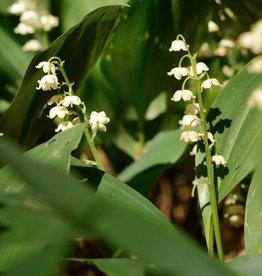 Lelietje der dalen Convallaria majalis, BIO