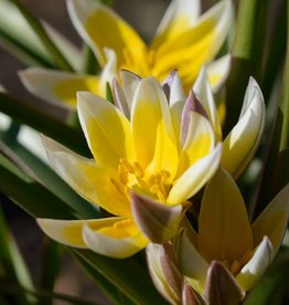 Tulp Tulipa tarda, ECO