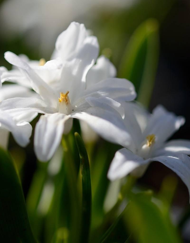 Sneeuwroem (grote) Chionodoxa luciliae 'Alba' (Witte grote sneeuwroem) - Stinzenplant