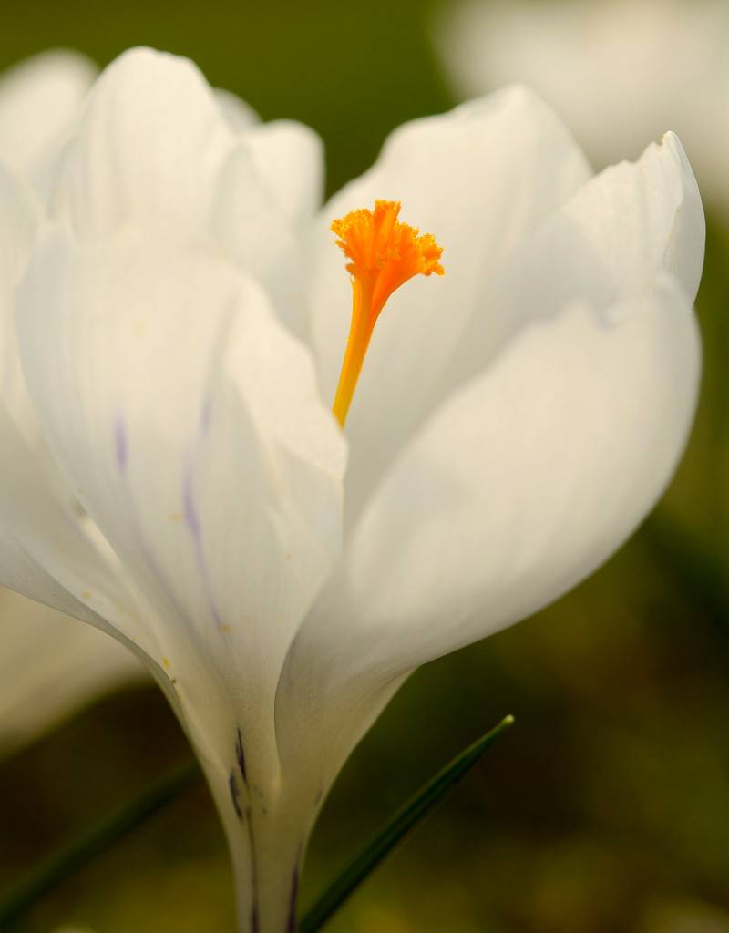 Krokus (bonte) Crocus vernus 'Jeanne d'Arc' (Bonte krokus) - Stinzenplant