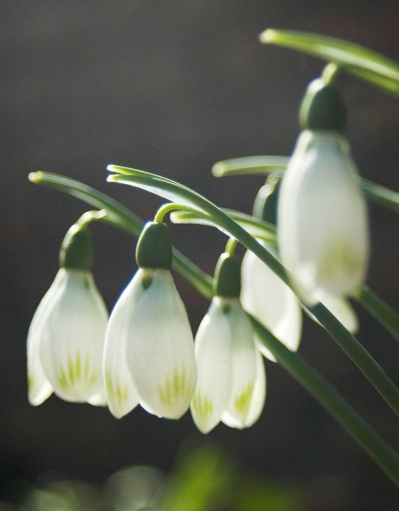 Sneeuwklokje (cultivar) Galanthus nivalis 'Viridapice'