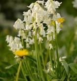 Hyacint (bos/wilde) Hyacinthoides non-scripta Wit (Boshyacint) - Stinzenplant