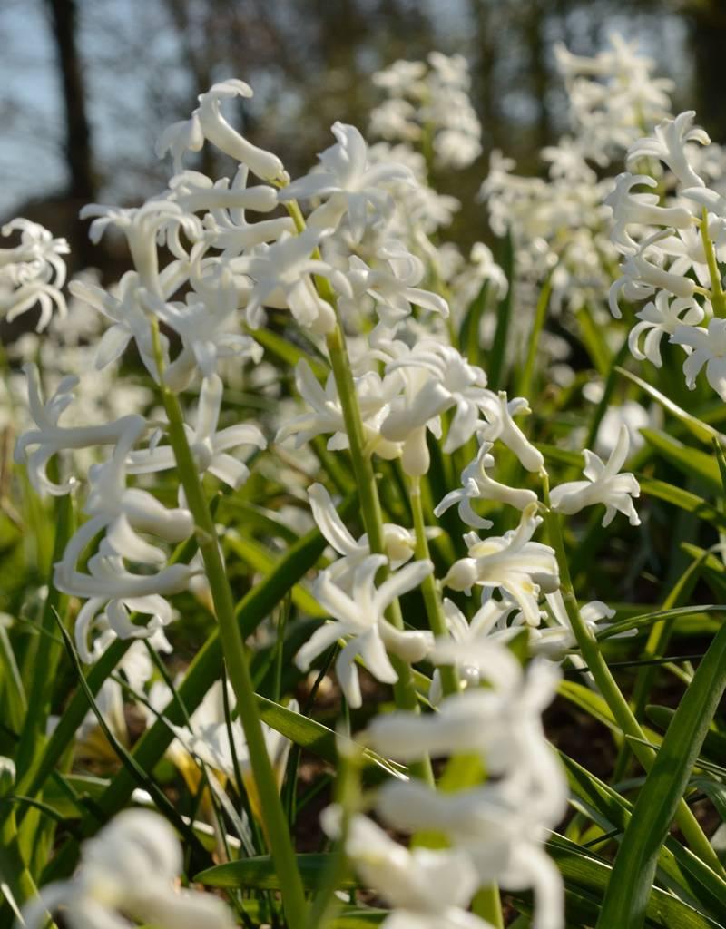 Hyacint (romeins) Hyacinthus orientalis, wit (Romeinse hyacint)