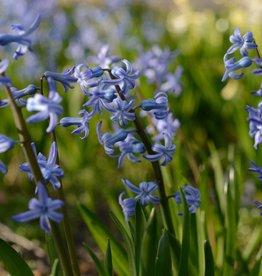Hyacint (romeins) Hyacinthus orientalis, blauw