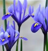Iris Iris reticulata 'Harmony' (Dwergiris)