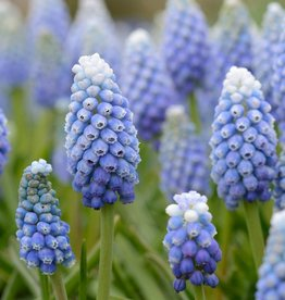 Blauwe druifjes Muscari aucheri 'Ocean Magic'