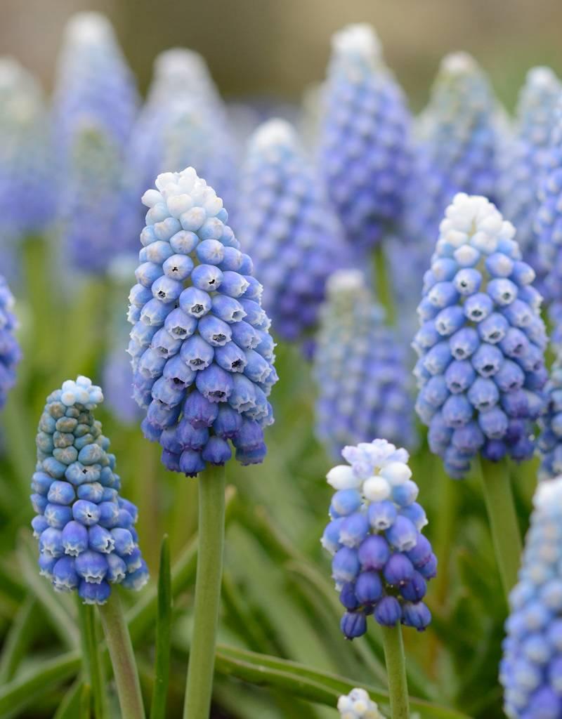 Blauwe druifjes Muscari aucheri 'Ocean Magic' (Blauwe druifjes)