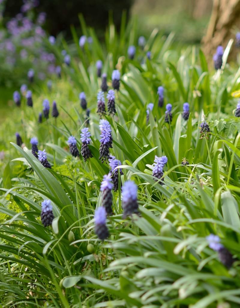Druifhyacint Muscari latifolium (Breedbladige druifhyacint) - Stinzenplant