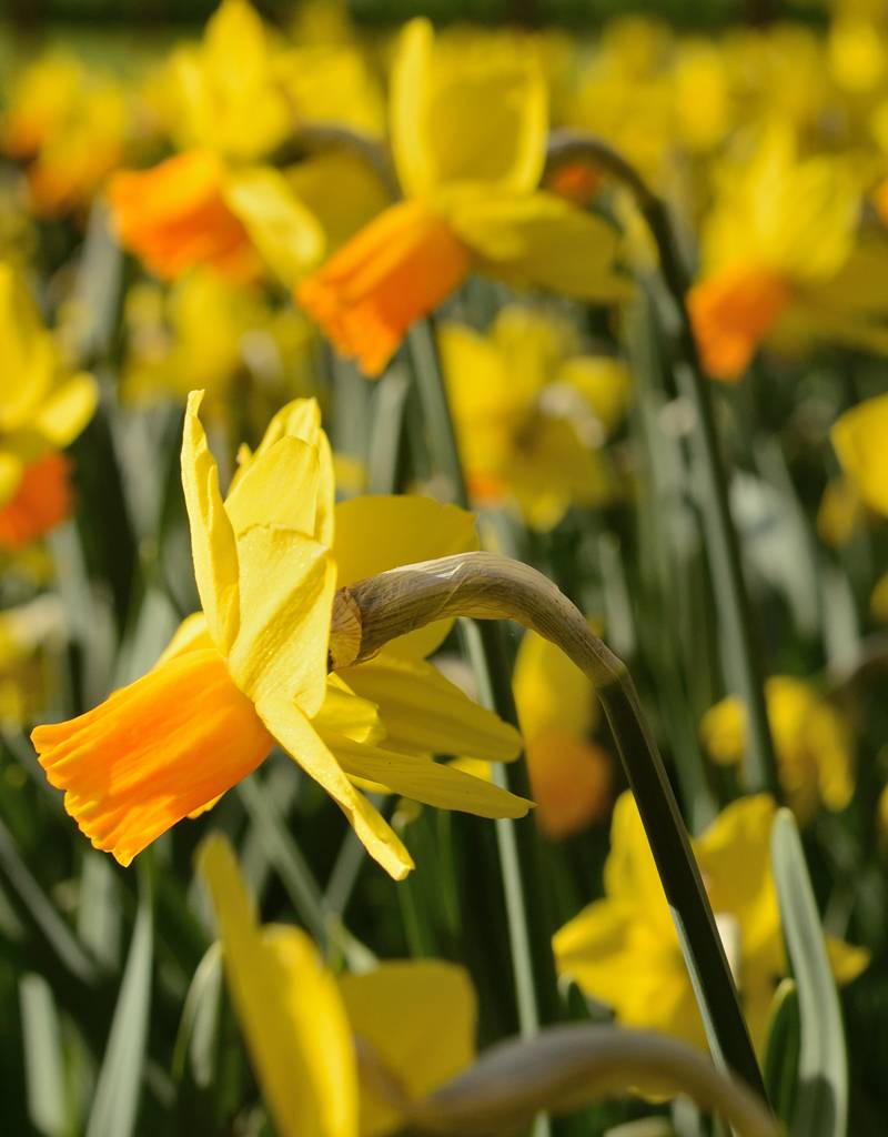 Narcis Narcissus 'Jetfire'