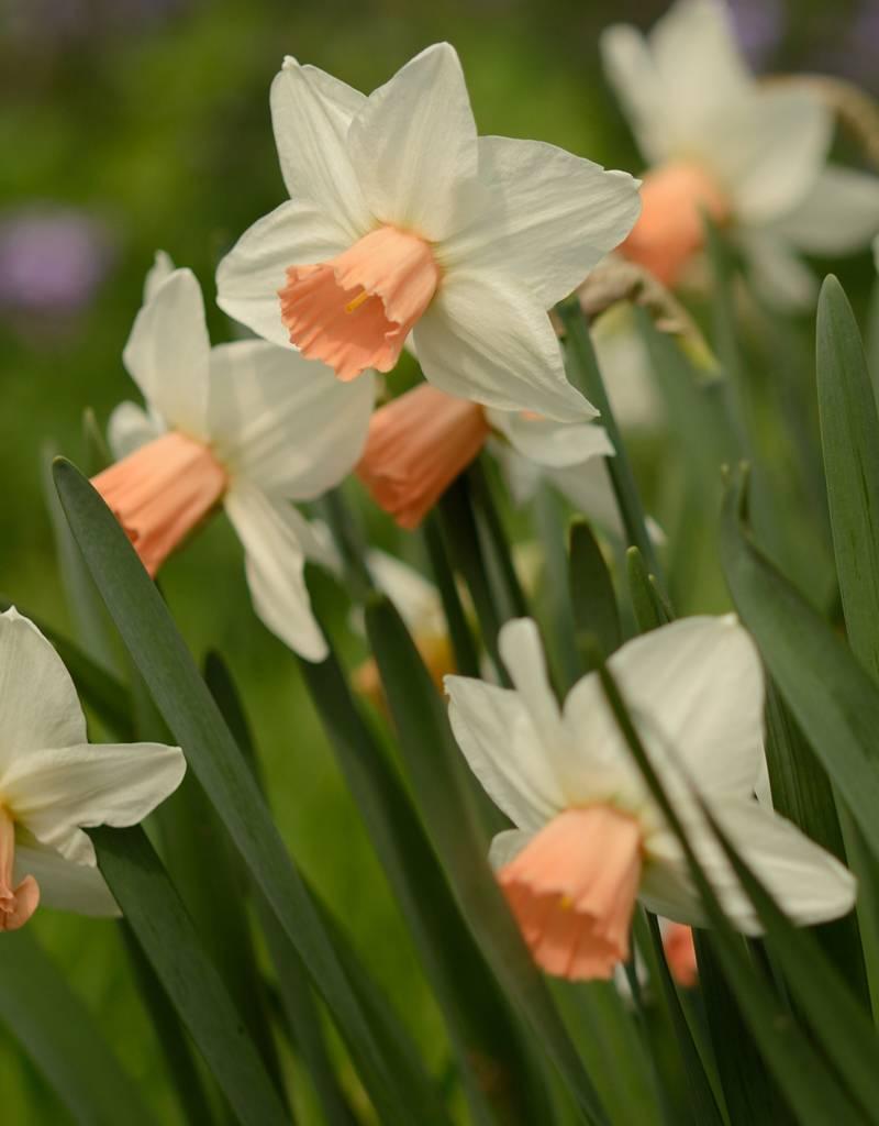 Narcis Narcissus 'Reggae'
