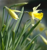 Narcis (wilde) Narcissus pseudonarcissus lobularis (Wilde narcis) - Stinzenplant
