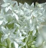 Vogelmelk (knikkende) Ornithogalum nutans (Knikkende vogelmelk) - Stinzenplant
