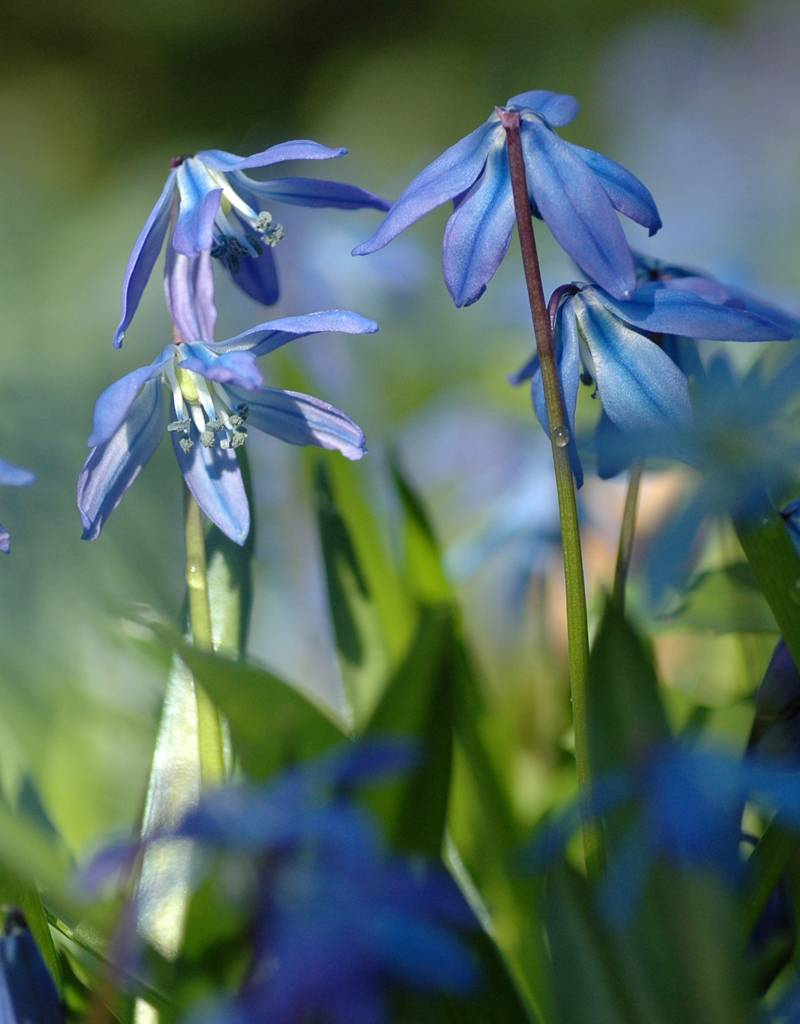 Sterhyacint (oosters) Scilla siberica (Oosterse sterhyacint) - Stinzenplant