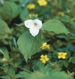 Boslelie Trillium grandiflorum