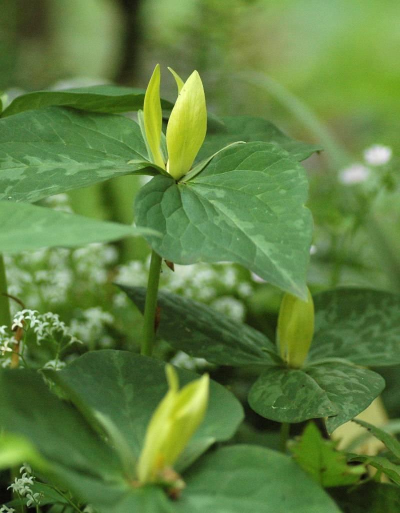 Boslelie Trillium luteum (Boslelie)