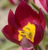 Tulp Tulipa humilis 'Persian Pearl'