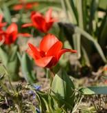 Tulp Tulipa kaufmanniana 'Showwinner'